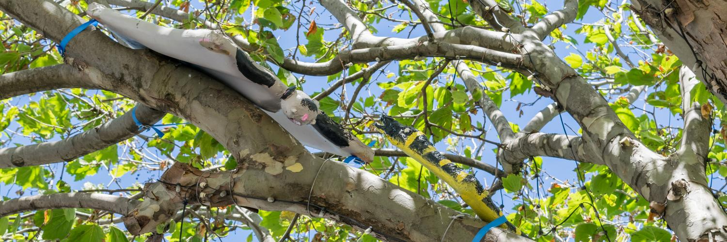 Sugar Glider and Yellow-Bellied Black Snake